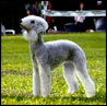 Bedlington terrier femmina