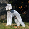 Bedlington terrier. Import Sweden