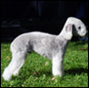 Bedlington Terrier, import USA